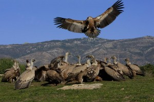 Birds_of_prey_Campo_de_Gibraltar